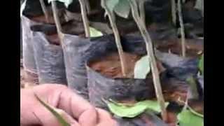 getlinkyoutube.com-كيفيفة تطعيم شجرة البرتقال