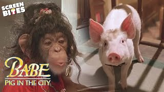 getlinkyoutube.com-Babe: Pig In The City - Maybe it wasn't sheep herding? OFFICIAL HD VIDEO
