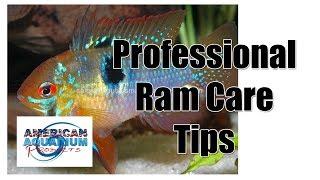 getlinkyoutube.com-German Blue Ram | Professional Ram Cichlid Care Tips
