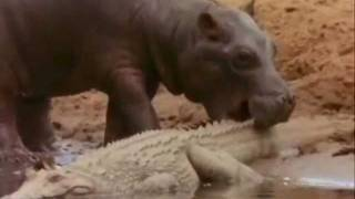getlinkyoutube.com-Hippo Vs Crocodile at the water hole Killing Frenzy..