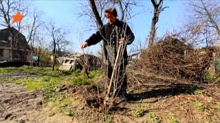 """getlinkyoutube.com-Как избавить старое дерево корневой поросли: советы """"Дачи"""""""