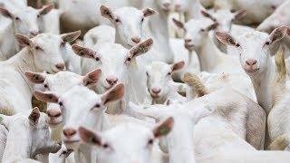 getlinkyoutube.com-Milking 1,300 Goats p/hr! Dairymaster Goat Rotary - Eurotier Gold Medal Winner