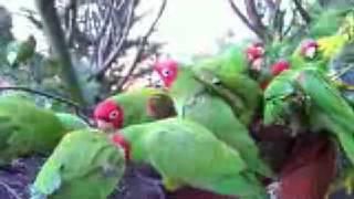 getlinkyoutube.com-Telegraph Hill Parrots January 30, 2008 (HD)
