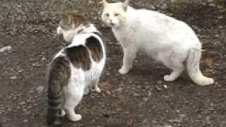 getlinkyoutube.com-ボスやんがライバル雄猫と遇っちゃいました