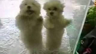 Tańczące psy