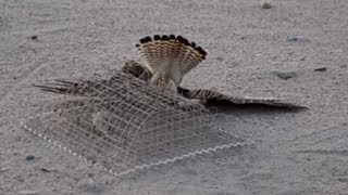 getlinkyoutube.com-Kestrel trapping in KUWAIT desert
