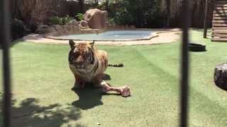 getlinkyoutube.com-Tiger roar !