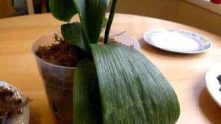 getlinkyoutube.com-HOW TO WATER AN ORCHID...NOT. explaining root rot and overwatering,