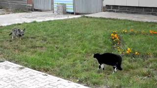 getlinkyoutube.com-اشتباك عنيف بين قط وكلب