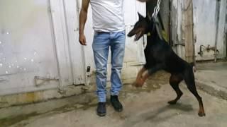 كلب الدوبرمان الاصلي مع جمال العمواسي