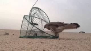 getlinkyoutube.com-طريقة صيد الطيور الجارحة