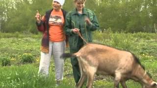 """getlinkyoutube.com-Рубрика """"ЗаДачник"""": учимся доить козу"""