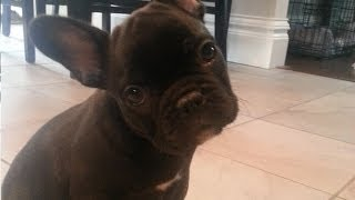 getlinkyoutube.com-French Bulldog Puppy Surprise