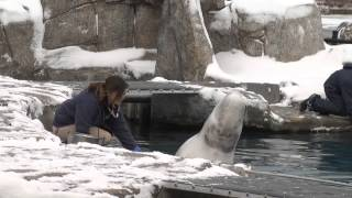 getlinkyoutube.com-Meet a Mystic Aquarium belgua whale trainer
