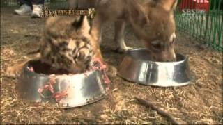 getlinkyoutube.com-고양이 같은 아기 호랑이! @TV 동물농장 20120722