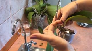 Орхидея. Реанимация орхидеи. Один из способов. orchid rehabilitation