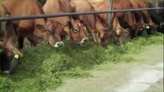 getlinkyoutube.com-Hall Jersey's dairy farm in Utah