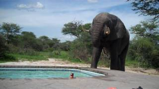 getlinkyoutube.com-Elephant crashes the pool party