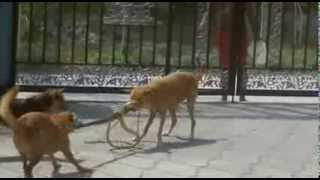 getlinkyoutube.com-Fight between my dog and the snake. Lotta tra i miei cani e il serpente.