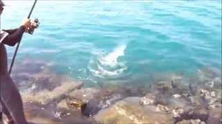 getlinkyoutube.com-صيد وتسحيب بياض من الشاطئ بالطعم الحي