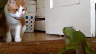 getlinkyoutube.com-Lizard shows cat whos boss