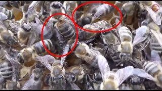 getlinkyoutube.com-Duelul matcilor - Cantecul de lupta al tinerelor regine ale albinelor pentru suprematia din stup