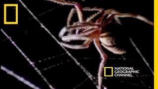 Minik bir örümcek kendisinin 150 katı bir yarasayı nasıl öldürebilir?