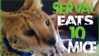getlinkyoutube.com-Serval Eats 10 Live Mice!