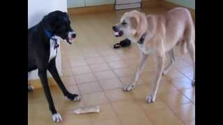 getlinkyoutube.com-Dog VS. other Dog (My two dogs fighting over a bone)