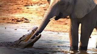 getlinkyoutube.com-Crocodile Attacks Elephant at Watering Hole