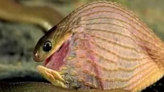 getlinkyoutube.com-Шок! Змея поедает яйцо, превосходящее ее по размеру.