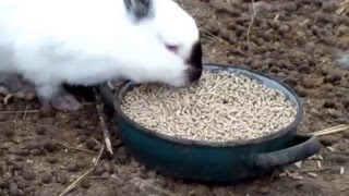 getlinkyoutube.com-Содержание кроликов зимой в теплице без клеток, т.е.своего рода вольерное содержание.
