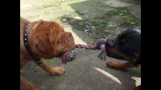 getlinkyoutube.com-Rottweiler v Dogue de Bordeaux v Child