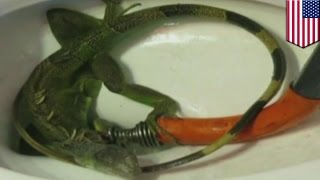 getlinkyoutube.com-Hydraulik wyciąga żywego legwana z toalety