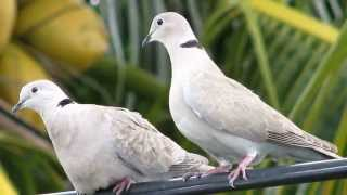 getlinkyoutube.com-Dove Pictures and Sounds