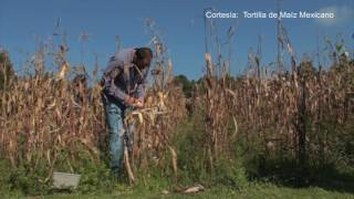 México podría golpear económicamente a Estados Unidos por medio del maíz.