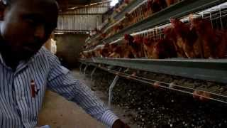 getlinkyoutube.com-How to rear chicken using battery Cages in Kenya (http://westgateintegrity.com/)