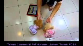 getlinkyoutube.com-pocket teaucp poodle toy teacup poodles puppy