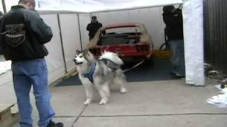getlinkyoutube.com-Avalanche - Malamute pulls car