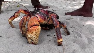 getlinkyoutube.com-Giant Coconut Crab – the largest land crab in the world