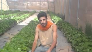getlinkyoutube.com-زراعة الفراولة..اكتفاء ذاتي وخطوة لقتل البطالة