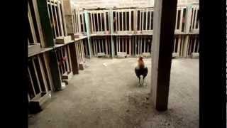 getlinkyoutube.com-Leopoldo Trujillo Flores - ASGANAHU - Crianza de Gallos de Pelea Junio del 2012