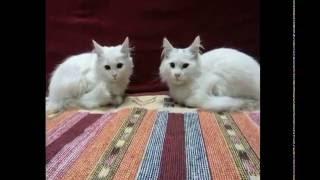 getlinkyoutube.com-must cry.. vet killed my turkish angora cat