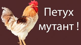 getlinkyoutube.com-Петух мутант ! ( Chicken Assassin )