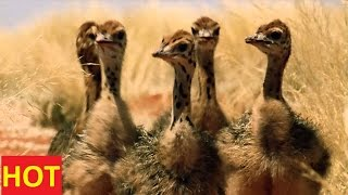getlinkyoutube.com-National Geographic Documentary Animals - Ostrich SD Discovery Channel
