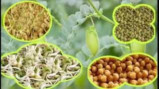 محمد الفايد يتحدث عن طريقة استنبات  الحمص  وجميع انواع الحبوب وفائدته في غسل الجسم من السموم