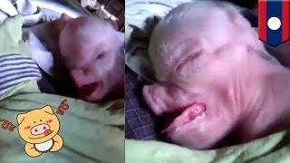 getlinkyoutube.com-Dziwne stworzenie: Świnia z ludzką głową