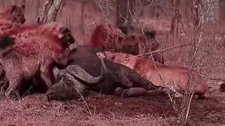 getlinkyoutube.com-الأسود مقابل الضباع المعركة الرهيبة I الحيوانات القتال حتى الموت