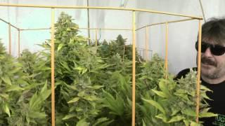 getlinkyoutube.com-6 Kinds Of Budding Cannabis