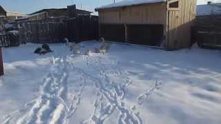 Содержание гусей зимой/ Условия для разведения гусей/ Гуси домашние